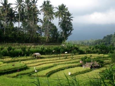 Rijstvelden Indonesië